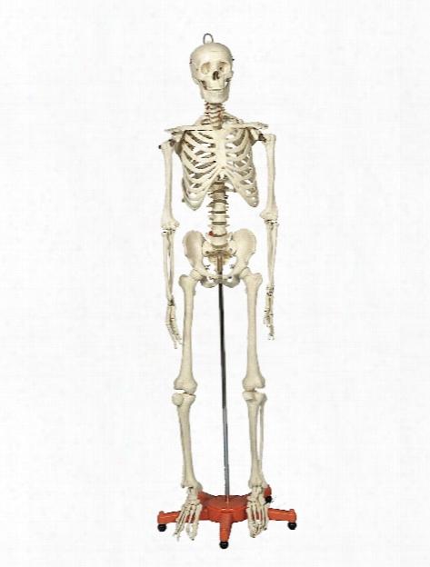 Skeleton Manikins 66 In.