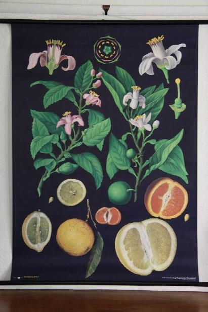 Citrus Fruits Botanical Wall Chart