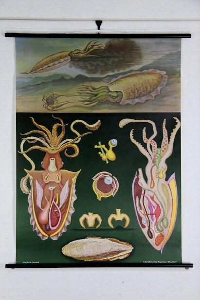 Cuttlefish Zoological Wall Chart