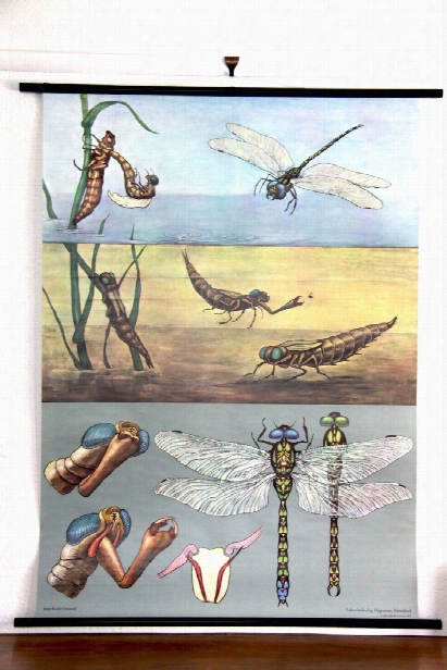 Blue Dragonfly Zoological Wall Chart