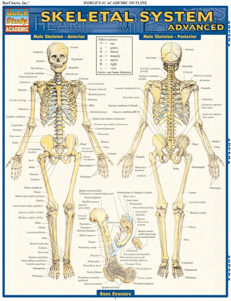 Barcharts Barcharts Advanced Skeletal System Reference Guide - Unisex - Medical Supplies
