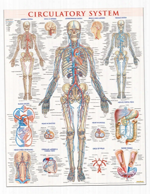 Barcharts Barcharts Circulatory System Poster - Unisex - Medical Supplies