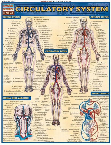 Barcharts Barcharts Circulatory System Reference - Unisex - Medical Supplies