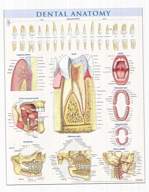 Barcharts Barcharts Dental Anatomy Poster - Unisex - Medical Supplies