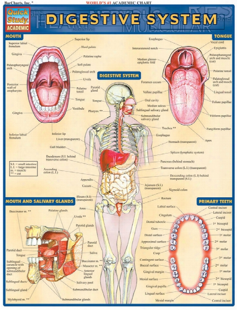 Barcharts Barcharts Digestive System Reference - Unisex - Medical Supplies