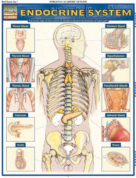 Barcharts Barcharts Endocrine System Reference Guide - Unisex - Medical Supplies