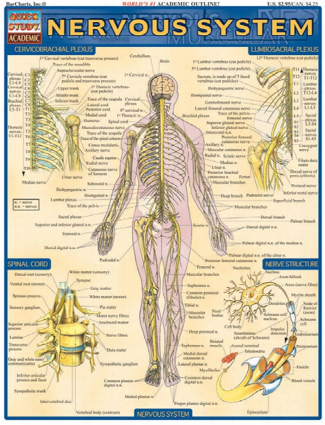 Barcharts Barcharts Nervous System Reference - Unisex - Medical Supplies