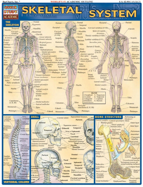Barcharts Barcharts Skeletal System Reference Guide - Unisex - Medical Supplies